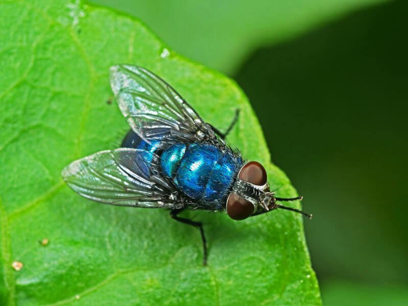 Blaue Schmeissfliege
